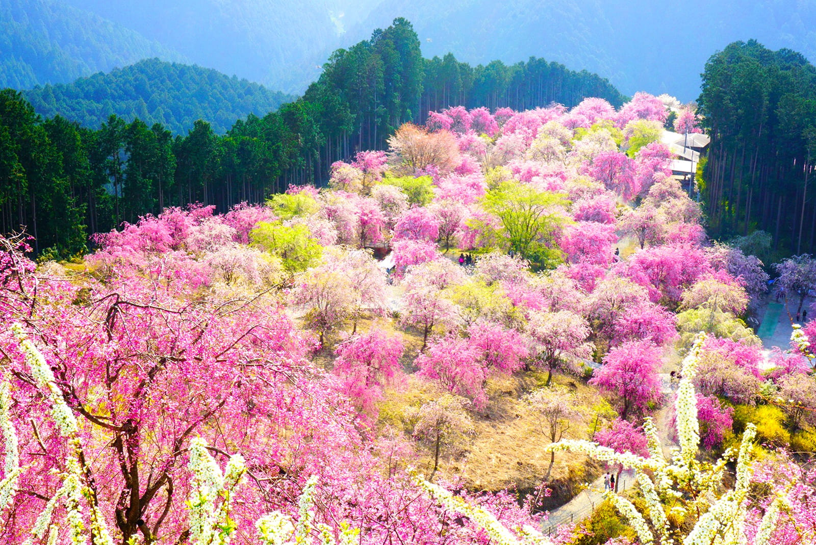 関西桜撮影スポット 奈良県吉野郡 吉野山の滝桜