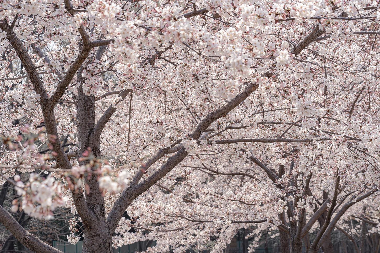 桜撮影のコツ