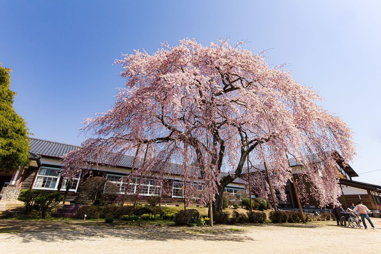 桜撮影のコツ ホワイトバランス