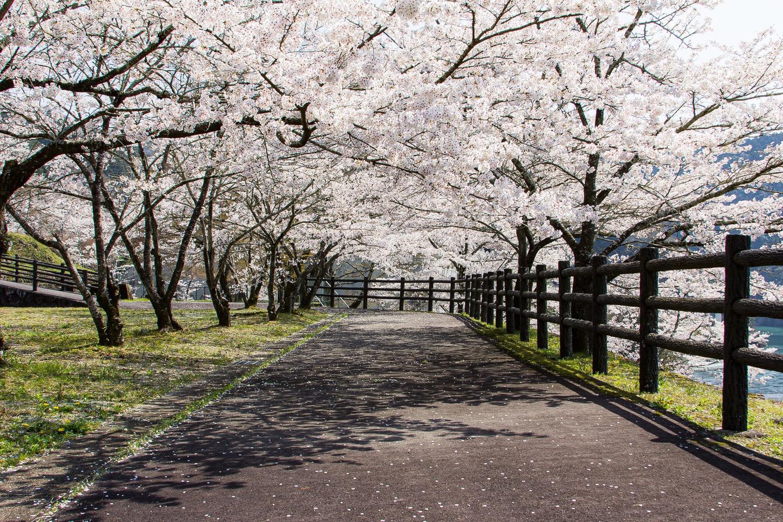 桜撮影のコツ 彩度を抑える