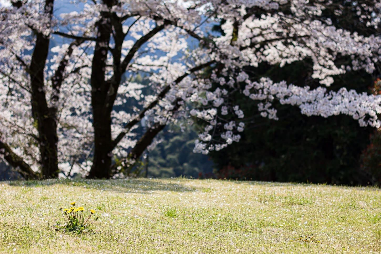 桜撮影のコツ 桜を背景に