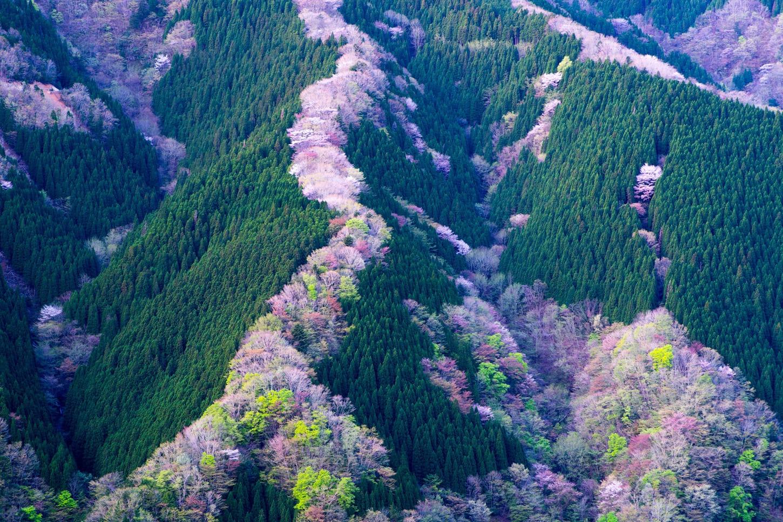 関西桜撮影スポット 奈良県吉野郡 ナメゴ谷