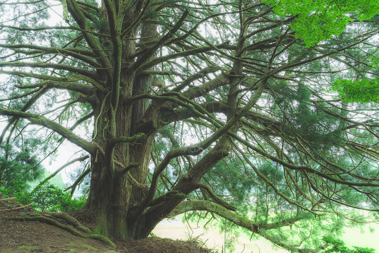 エモいフィルム調加工 巨木