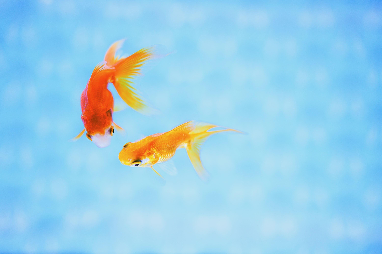 コンビニプリント比較 元写真 ①金魚